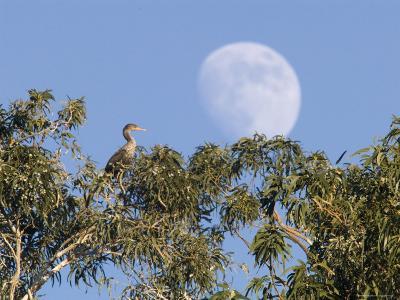 Cormorant in a Tree with a Moon Rising, Santa Barbara, California-Rich Reid-Photographic Print
