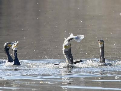 Cormorant, Phalacrocorax Carbo, is Watched by Others as it Tries to Gulp Down a Fish it Had Caught--Photographic Print