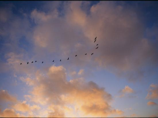 Cormorants in Formation-Marc Moritsch-Photographic Print