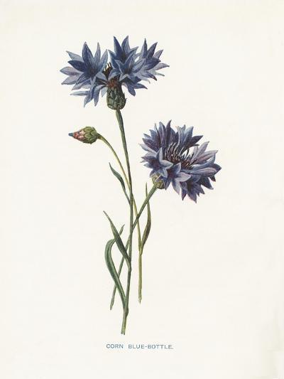 Corn Blue-Bottle-Gwendolyn Babbitt-Art Print