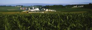 Corn Crop Grown in a Field, Amish Farm, Lancaster County, Pennsylvania, USA