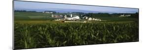 Corn Crop Grown in a Field, Amish Farm, Lancaster County, Pennsylvania, USA