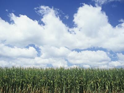 Corn Crop under a Blue Sky with Fair-Weather Cumulus Clouds, Zea Mays-Adam Jones-Photographic Print