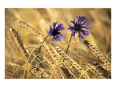 Corn Flowers--Art Print