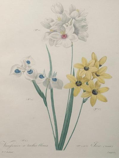 Corn Lilly with Blue Spots-Pierre-Joseph Redoute-Art Print