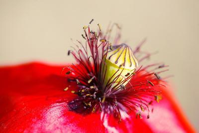 https://imgc.artprintimages.com/img/print/corn-poppy-papaver-rhoeas-blossom-detail_u-l-q11wes80.jpg?p=0