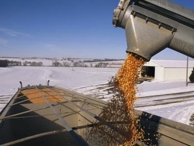 Corn Pours from an Auger into a Grain Truck-Joel Sartore-Photographic Print