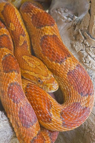 Corn Snake--Photographic Print