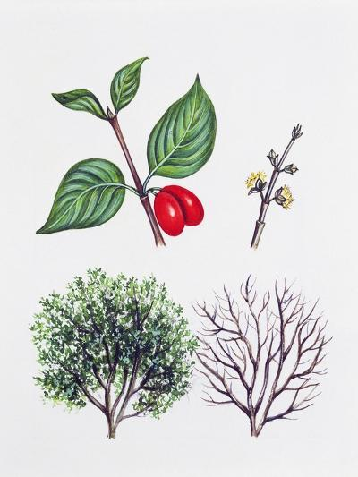 Cornelian Cherry or European Cornel (Cornus Mas)--Giclee Print