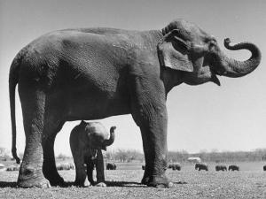 Butch, Baby Female Indian Elephant in the Dailey Circus, Standing Beneath Full Size Elephant by Cornell Capa