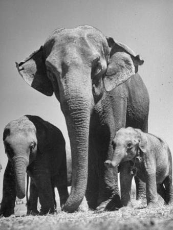 Butch, Baby Female Indian Elephant by Cornell Capa