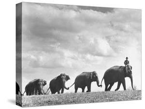 Circus Elephants Walking in Line by Cornell Capa