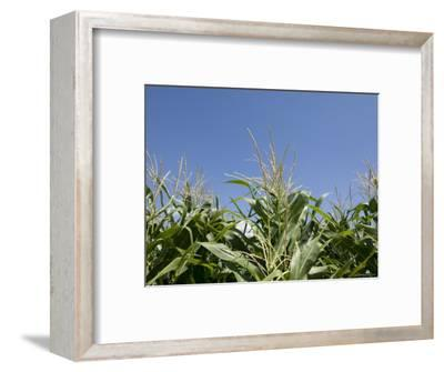 Cornfield near Burwell, Nebraska-Joel Sartore-Framed Photographic Print