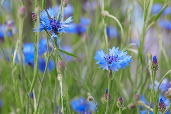 Cornflowers, Centaurea Cyanus, Macro-A. Astes-Photographic Print