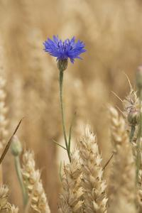 Cornflowers in Cornfield