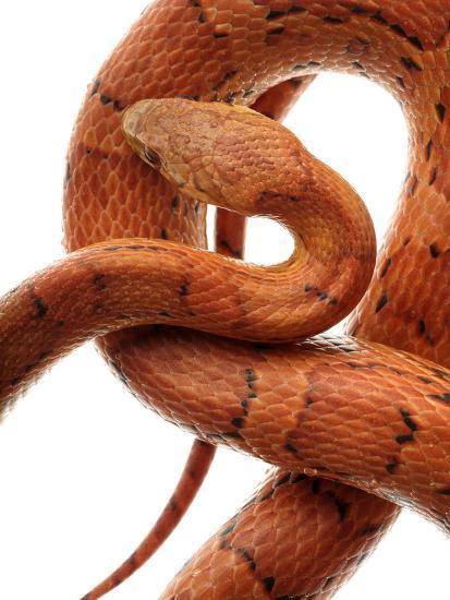 Cornsnake (Elaphe Guttata), Non-Venomous-Albert Lleal/Minden Pictures-Photographic Print