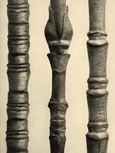 Cornus Nuttallii 1929 (photogravure)