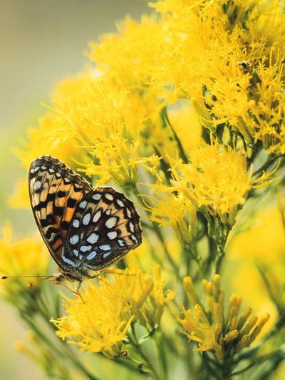 Coronis Fritillary, Nectaring on Rabbitbrush, WY-Howie Garber-Photographic Print