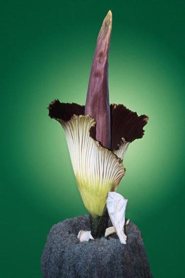 Corpse Flower Six--Photographic Print