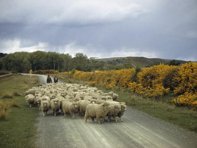 Corriedale Sheep, Raised for Wool and Mutton, are Lead to Market-Howell Walker-Photographic Print