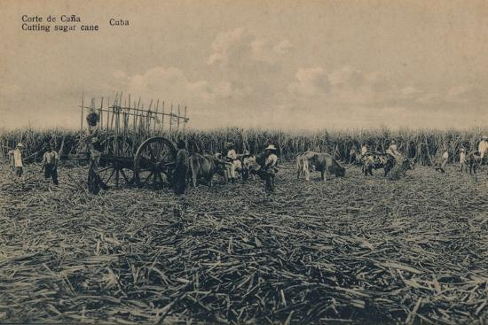 'Corte de Cana - Cutting sugar cane - Cuba', c1910-Unknown-Photographic Print
