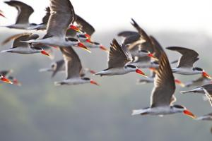 A Flock of African Skimmer Birds Fly over Murchison Falls by Cory Richards