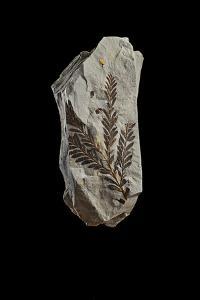 A Fossilized Conifer Tree Branch by Cory Richards