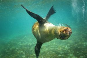 A Galapagos Sea Lion Frolics in the Ocean Off the Galapagos Islands by Cory Richards