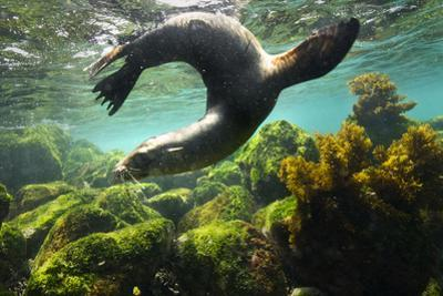 A Galapagos Sea Lion Frolics Just Beneath the Ocean Surface by Cory Richards