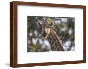A Giraffe on Chief's Island in Botswana's Okavango Delta by Cory Richards