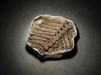 A Hadrosaur Tail Remains in the Plaster Jacket Used to Transport it to the Museum in Salt Lake City by Cory Richards
