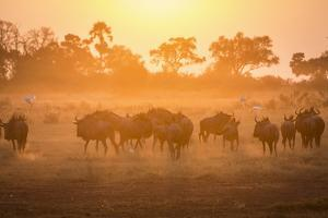 A Herd of Wildebeests on the Move in Botswana's Moremi Game Reserve by Cory Richards