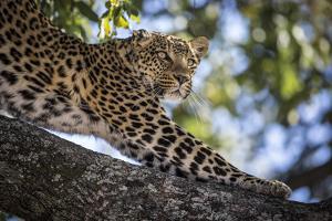 A Leopard on Chief's Island in Botswana's Okavango Delta by Cory Richards