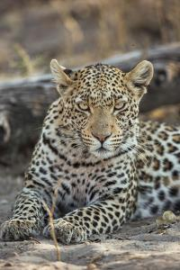 A Leopard Rests in Botswana's Chitabe Concession Area by Cory Richards