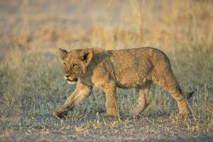 A Lion Cub in Botswana's Chitabe Concession Area by Cory Richards