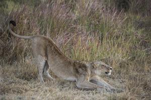 A Lion on Chief's Island in Botswana's Okavango Delta by Cory Richards
