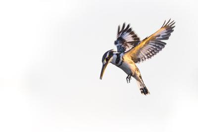 A Pied Kingfisher Waits Above the Water of the Okavango Delta, Looking for Fish to Feed On by Cory Richards