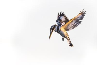 A Pied Kingfisher Waits Above the Water of the Okavango Delta, Looking for Fish to Feed On