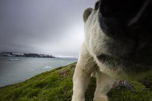 A Polar Bear Approaches Remote Camera and Knocks it over with His Nose by Cory Richards