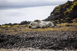 A Polar Bear on a Small Island, Where He Hunts Auks by Cory Richards