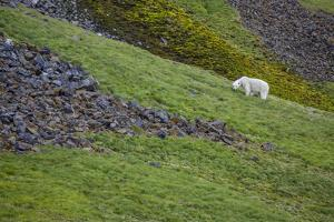 A polar bear on Rubini Rock eating grass and mosses. by Cory Richards