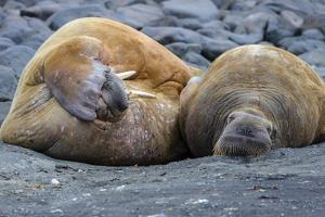 A Walrus Resting on Rocks on a Small Island by Cory Richards