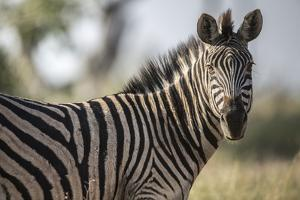 A Zebra on Chief's Island in Botswana's Okavango Delta by Cory Richards