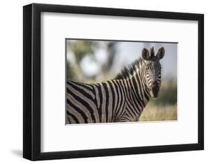A Zebra on Chief's Island in Botswana's Okavango Delta by Cory Richards