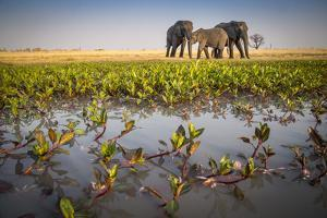 African Elephants in the Abu Concession Area in Botswana's Okavango Delta by Cory Richards
