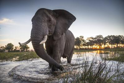 An African Elephant in the Okavango Delta by Cory Richards
