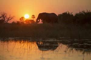 An African Elephant in the Xigera Concession Area of Botswana's Okavango Delta by Cory Richards