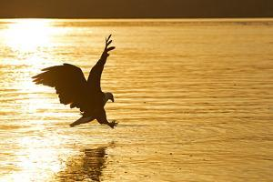 An African Fish Eagle Alights on the Nile River Bathed in Sunlight at Sunset by Cory Richards