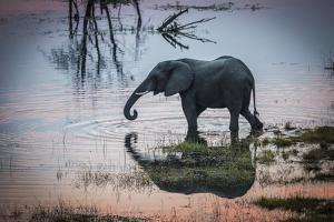 An Elephant Walks Along the Boteti River in Botswana's Makgadikgadi Pans by Cory Richards