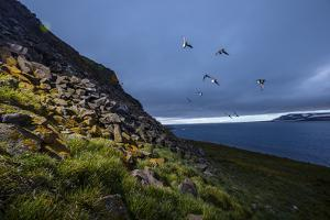 Auks in Flight Off an Island in the Franz Josef Archipelago by Cory Richards